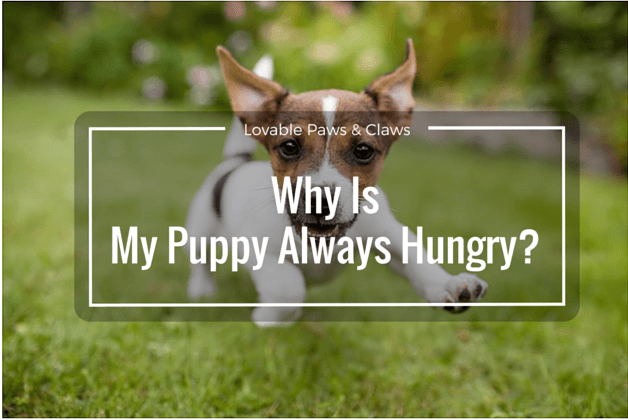 Why Is My Puppy Always Hungry!? Understanding Your Ravenous Beast.