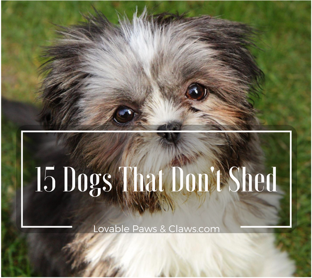 15 Dogs That Don't Shed: Amazing Hypoallergenic Dog Breeds