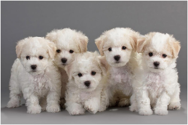Dogs That Don T Shed Bichon Frise