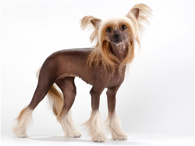 15 Dogs That Don T Shed Amazing Hypoallergenic Dog Breeds