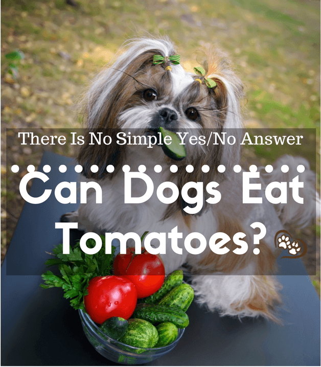 Can Dogs Eat Tomatoes? There Is No Simple Yes/No Answer