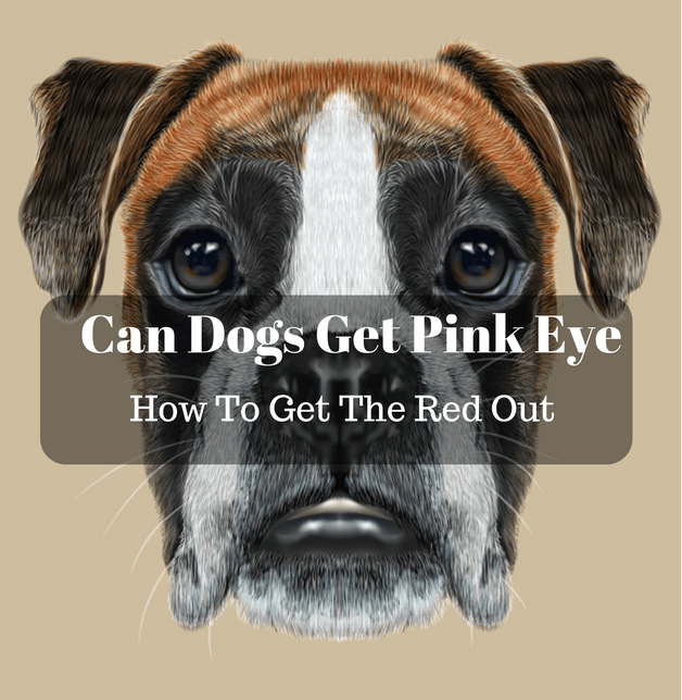 Can Dogs Get Pink Eye And How To Get The Red Out