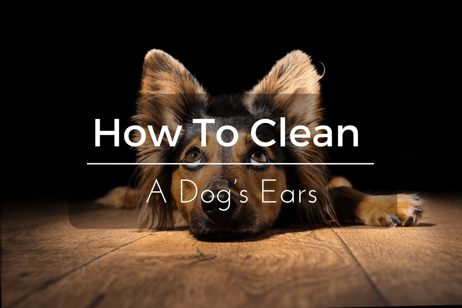 How To Clean A Dog's Ears In 5 Simple Steps