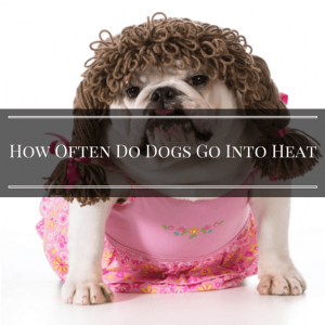 How Often Do Dogs Go Into Heat- 7 Ways To Tell