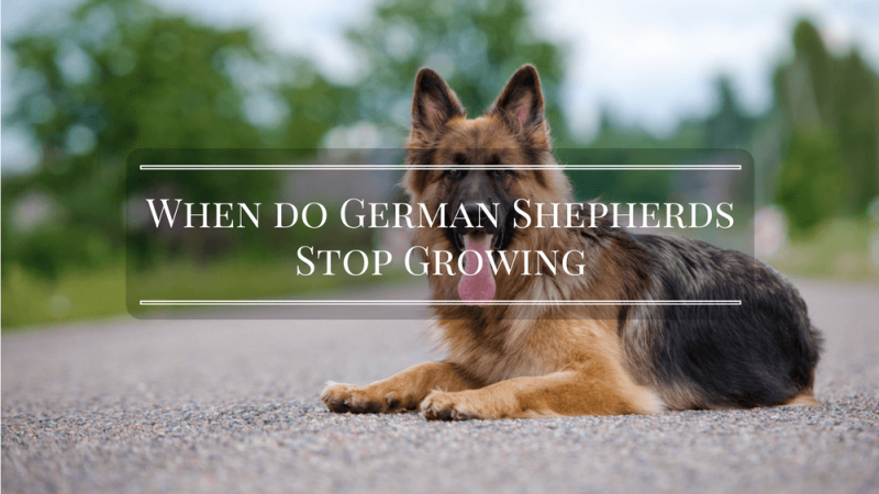 When do German Shepherds Stop Growing – Find Out the Truth Now